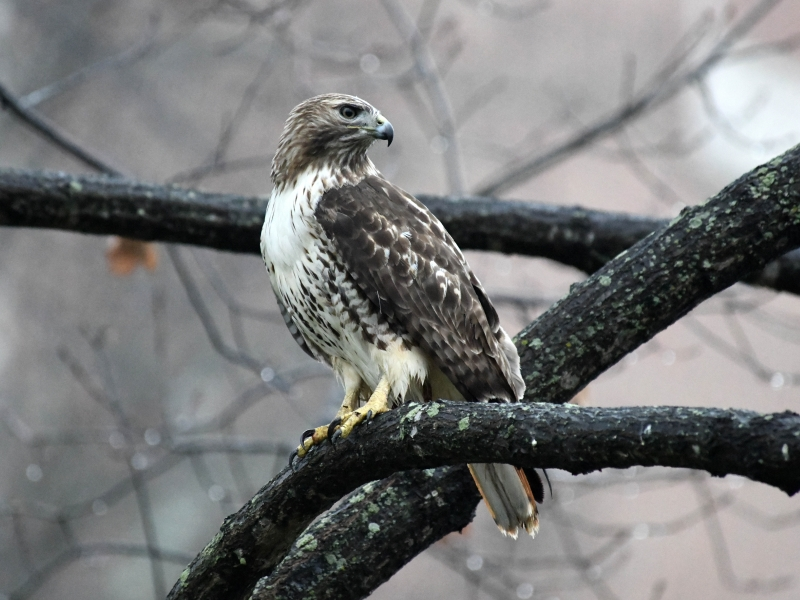 A red-tail hawk seen Saturday afternoon on the Davidson College campus.